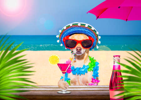 chihuahua dog wearing sunglasses in summer vacation holidays with cocktail drink or beverage at the beach bar club