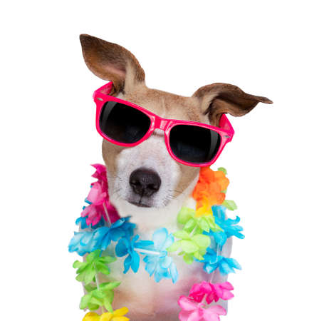 jack russel dog at the beach, on summer vacation holidays isolated on white background Standard-Bild