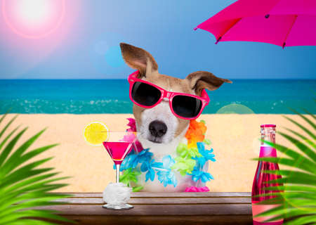 jack russell dog wearing sunglasses in summer vacation holidays with cocktail drink or beverage at the beach bar club