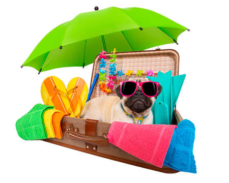 summer vacation pug dog in lugagge ready for holidays at the beach or paradise, isolated on white background Standard-Bild