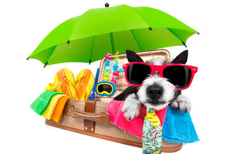 summer vacation poodle dog in lugagge ready for holidays at the beach or paradise, isolated on white background