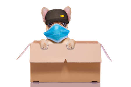 mail delivery french bulldog dog inside a big moving box, in covid 19, cornavirus, virus time Stock Photo