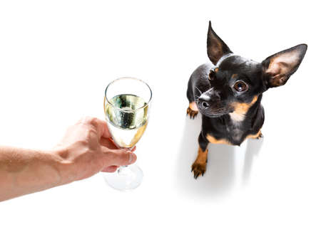 pregue ratter, praguer rattler dog celebrating new years eve with owner and champagne glass or cocktail isolated on white background, wide angle view