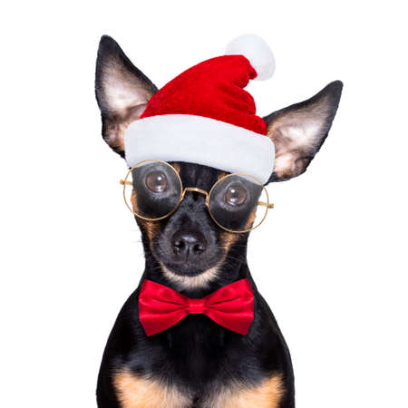 christmas prague ratter, prager rattler santa claus dog with present holiday gift box, isolated on white background, as a surprise Stock Photo