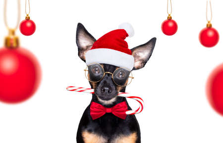 christmas prague ratter, prager rattler santa claus dog with sugar cane stick, isolated on white background, as a surprise