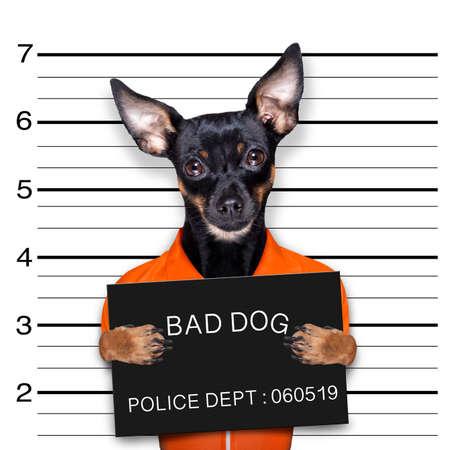 prague ratter or praguer rattler dog holding a police department banner, as a mugshot photo, at police office for his crimes Banque d'images