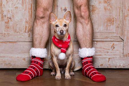 christmas santa claus chihuahua dog as a holiday season between his owners wearing noel stockings or socks Stock Photo