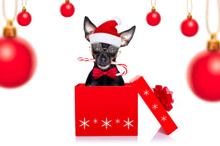 christmas prague ratter, prager rattler santa claus dog with present holiday gift box, isolated on white background, as a surprise with candy stick