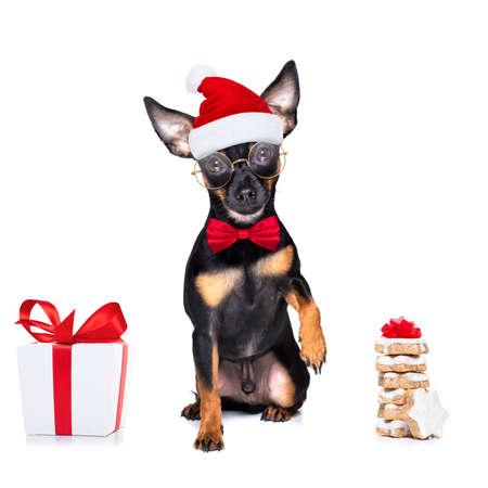 christmas prague ratter, prager rattler santa claus dog cokies for holiday, isolated on white background, as a surprise