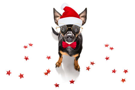 christmas santa claus praguer ratter dog as a holiday season surprise out of a gift or present box with red hat, isolated on white background