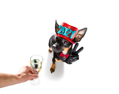 prague ratter, praguer rattler dog celebrating new years eve with champagne or cocktail cheering isolated on white background beside a banner or placard, peace and victory fingers