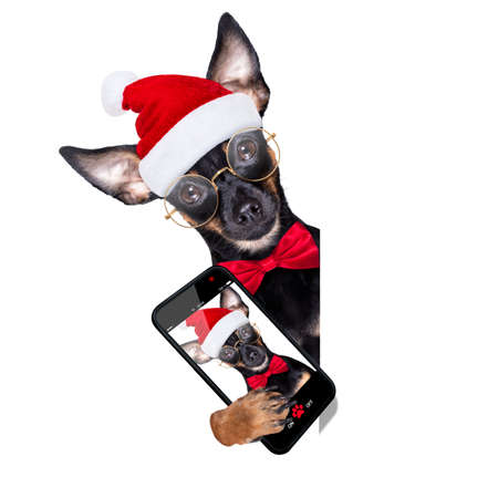 prague ratter dog christmas selfie santa claus, behind banner, placard or blackboard, isolated on white background Stock Photo