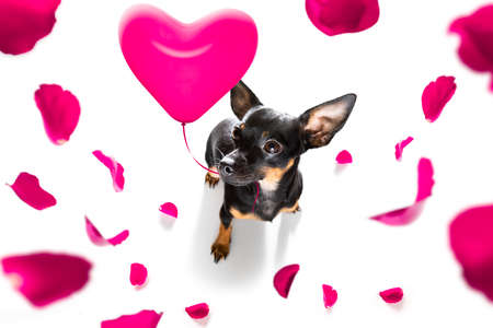 prague ratter dog in love for happy valentines day with petals and rose flower, looking at camera