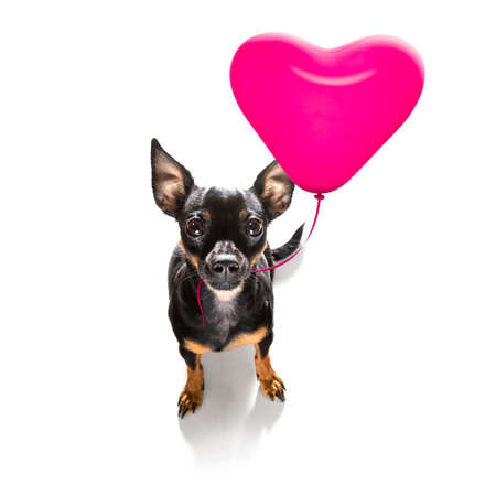 prague ratter dog in love for happy valentines day pink balloon looking at camera