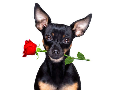 prague ratter dog in love for happy valentines day with petals and rose flower, looking at camera, holding rose with mouth
