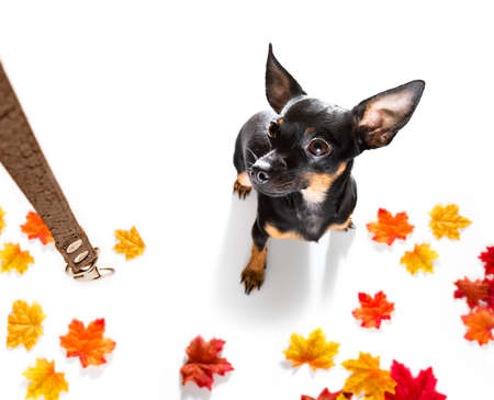 prague ratter dog waiting for owner to play and go for a walk with leash, isolated on white background in autumn or fall with leaves Stock Photo