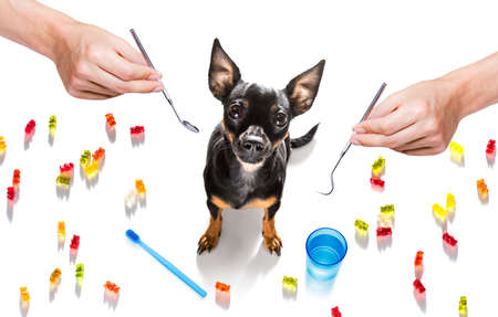 prague ratter dog holding a toothbrush with mouth at the dentist, isolated on white background