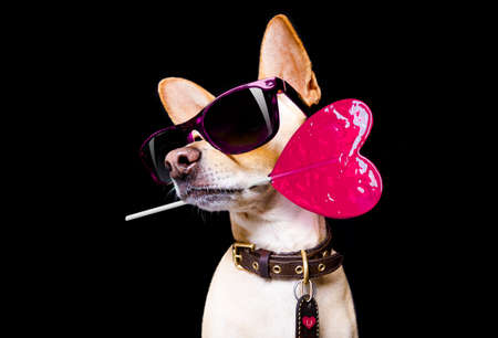 cool trendy posing chihuahua dog with sunglasses looking up like a model, isolated on black background