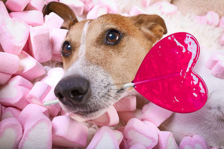 jack russell dog looking and staring at you, while lying on bed full of marshmallows as background, in love, pink lolly or lollypop