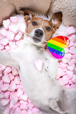 jack russell pride dog on valentines while lying on bed full of marshmallows as background, in love, pink lolly or lollypop