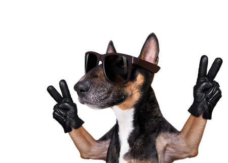 bull terrier with victory and peace fingers isolated on white background