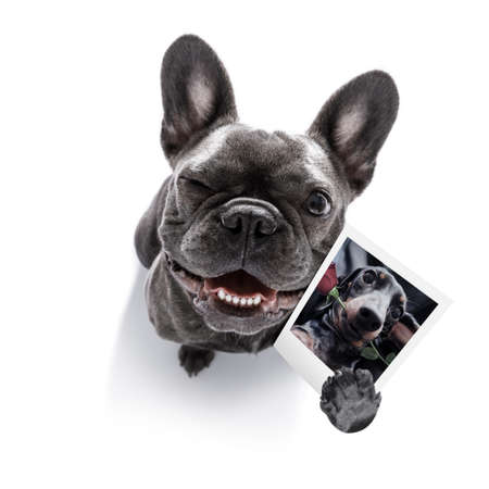 super funny french bulldog dog holding a photograph with old retro style look isolated on white background Banque d'images