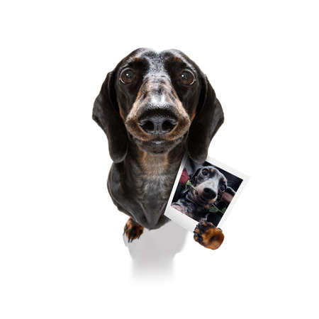 super funny dachshund dog holding a photograph with old retro style look isolated on white background