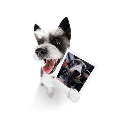 super funny poodle dog holding a photograph with old retro style look isolated on white background