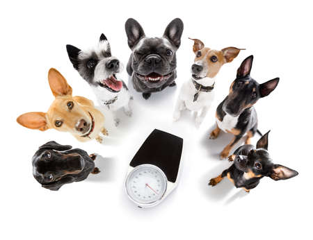 couple of dogs with guilty conscience for overweight, and to loose weight, standing or sitting beside a personal scale, isolated on white background
