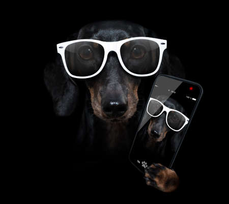 sausage dachshund dog isolated on black dark dramatic background looking at you frontal, taking a slefie with smartphone