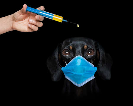 sick and ill dachshund sausage dog isolated on white background with face mask and viral coronavirus all over