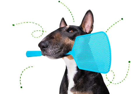 bull terrier dog considering the problem of tick insects and fleas, close to scratch its skin or fur, isolated on white background, with a fly swatter