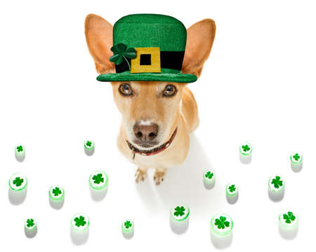 st patricks day chihuahua dog with lucky clover isolated on black dark dramtic background