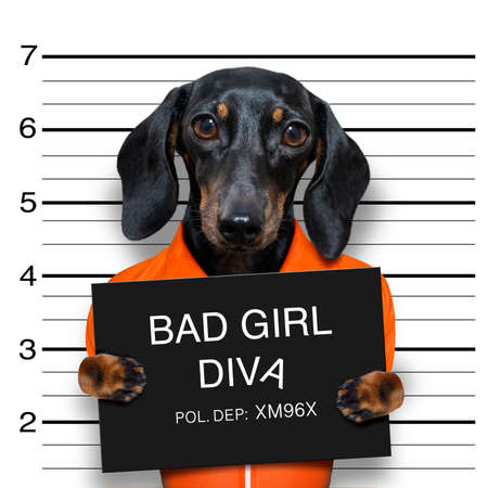dachshund sausage dog holding a police department banner, as a mugshot photo, at police office