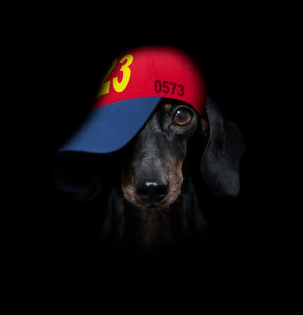 cool casual look dachshund dog wearing a baseball cap or hat, sporty and fit, hinding eyes under hat Banque d'images