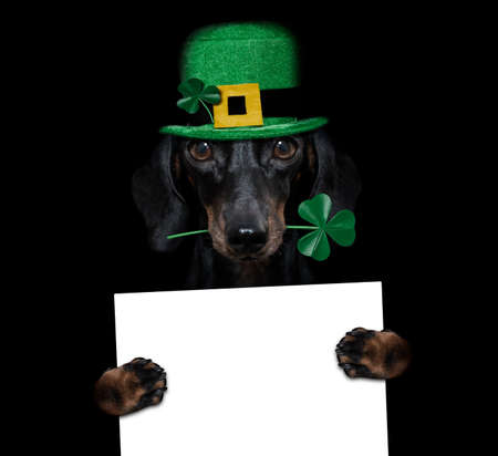 st patricks day dachshund sausage dog with lucky clover isolated on black dark dramtic background, holding blackboard banner poster Banque d'images