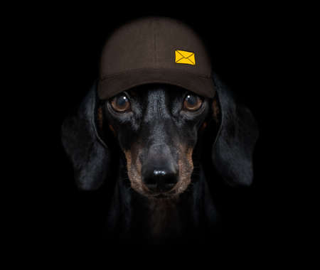 dachshund sausage dog delivering a big yellow package as a postman with cap, isolated on black dark dramatic background 스톡 콘텐츠