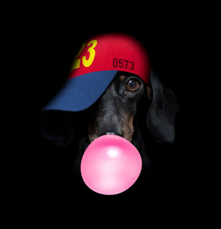 sausage dachshund dog isolated on black dark dramatic background looking at you frontal, chewing bubble gum