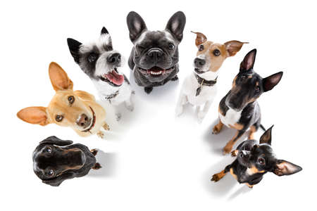 team group row of dogs waiting patient for a walk isolated on white background Banque d'images