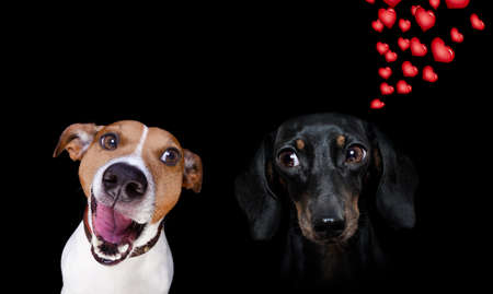 couple of dogs in love, looking each other in the eyes, with passion, pink red rose in the middle, isolated on white background
