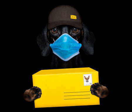 dachshund sausage dog delivering a big brown package as a postman with cap, in covid-19, cornavirus and lockdown time