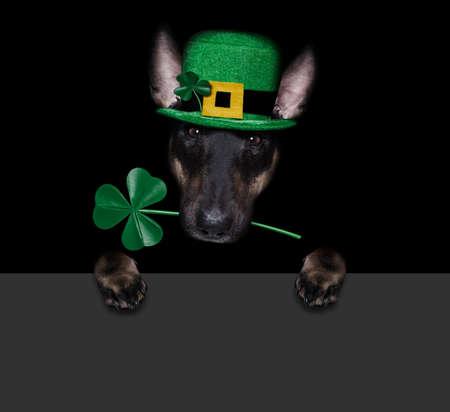 st patricks day bull terrier dog with lucky clover isolated on black dark dramtic background, taking selfie