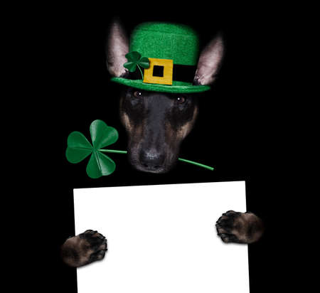 st patricks day bull terrier dog with lucky clover isolated on black dark dramtic background, holding blackboard banner poster Banque d'images