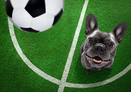 soccer french bulldog dog playing with leather ball, on football grass field Banque d'images