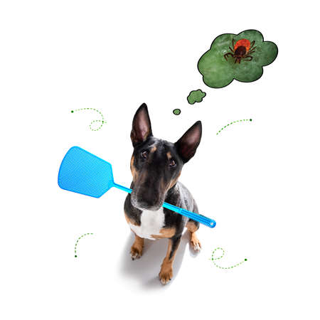 bullterrier dog in flea and tick season, isoalted on white background Banque d'images