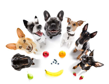 dog with guilty conscience for overweight, and to loose weight, isolated on white background and fresh vegan vegetarian fruit around