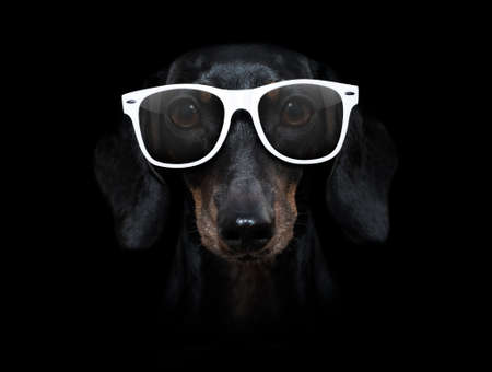 sausage dachshund dog isolated on black dark dramatic background looking at you frontal, wearing white glasses