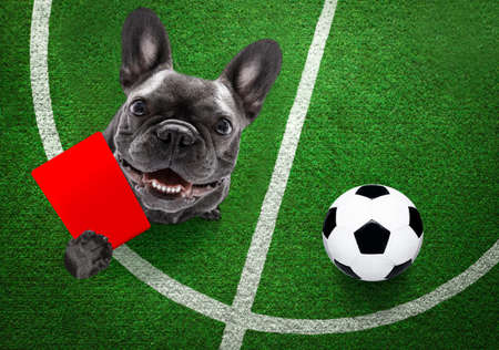 referee arbitrator umpire cheeky bulldog dog, showing red card, isolated on white background Banque d'images