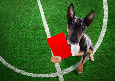 referee arbitrator umpire bull terrier showing red card, isolated on white background Banque d'images