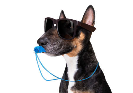 referee arbitrator umpire bull terrier dog blowing blue whistle in mouth, isolated on white background Banque d'images